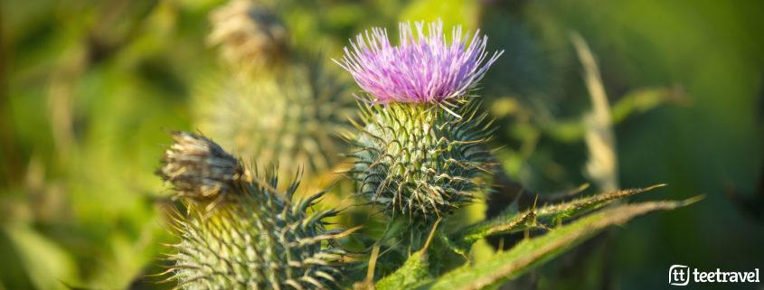 Thistles. Copyright © VisitScotland