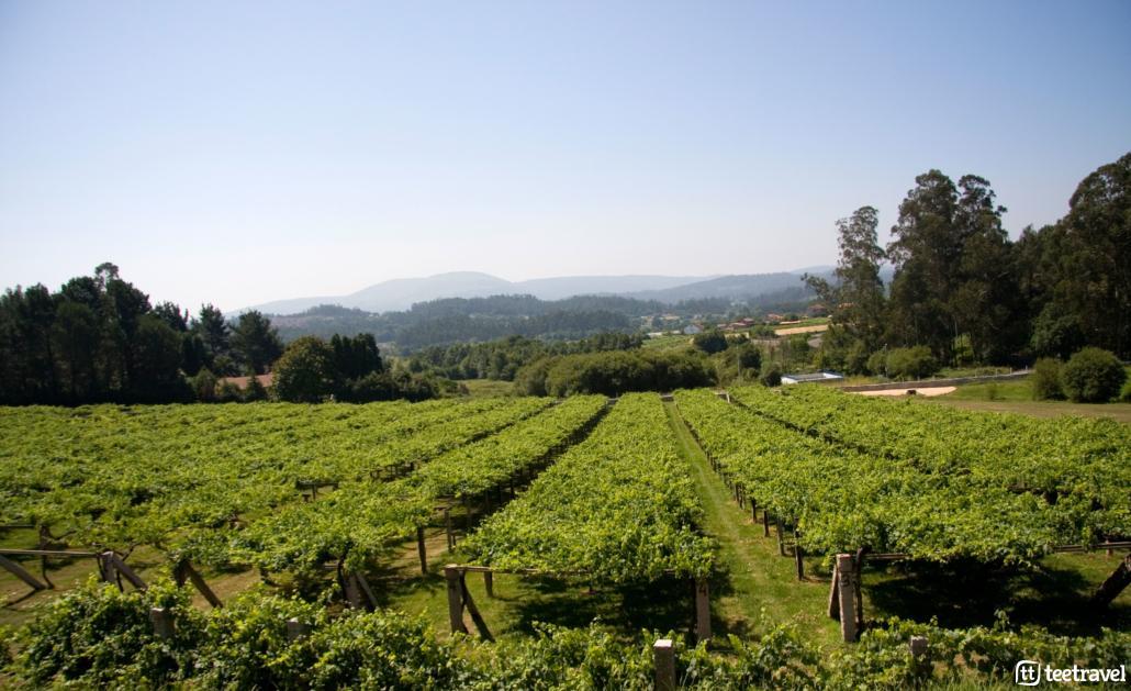 Camino Portugués por la Costa-Viñedos de albariño