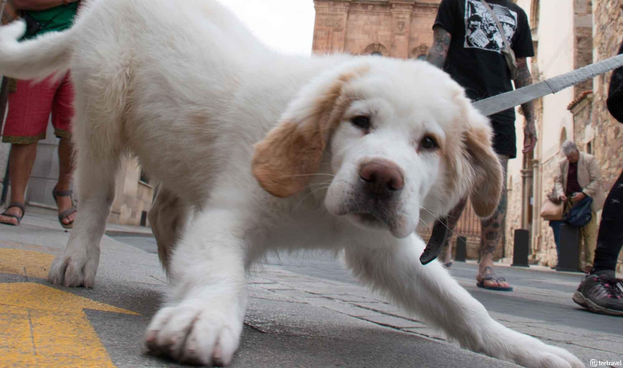 El Camino de Santiago con tu mascota - perregrino